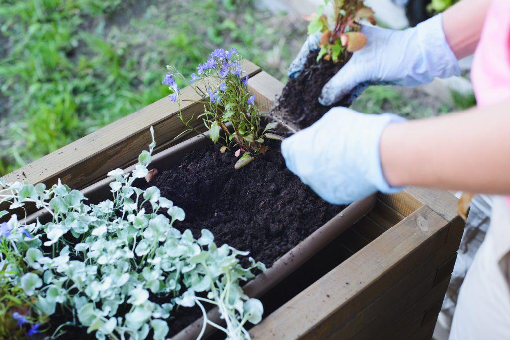gardener plants flowers in wooden container pot